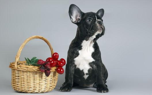 Обои Французский бульдог и стоящая рядом с ним корзинка с ягодами вишни, клубники и зелеными листочками