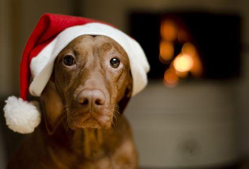 Обои Коричневая собака в новогодней шапочке