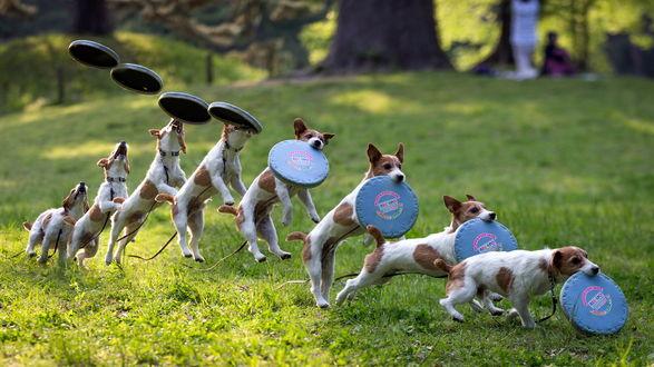 Обои Покадровая съемка прыжка собаки ловящей тарелку при игре во Фрисби на зеленой траве