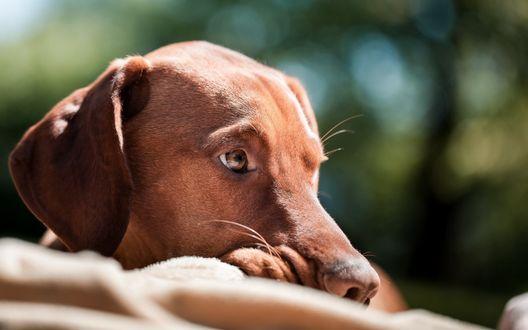 Обои Родезийский риджбек с коричневыми глазами, лежит на одеяле