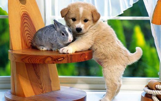 Обои Маленький щенок передними лапками упирается на стул рядом с серым кроликом