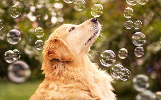 Обои Пес среди мыльных пузырей закрыл глаза