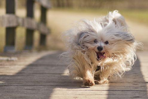Обои Мохнатая светлая собака бежит по деревянному мосту