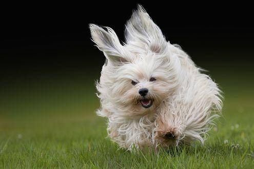 Обои Белая болонка с развевающейся по ветру шерстью бежит по траве