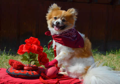 Обои Собака шпиц сидит на красной подстилке в красной косынке, рядом красные игрушки и красные цветы