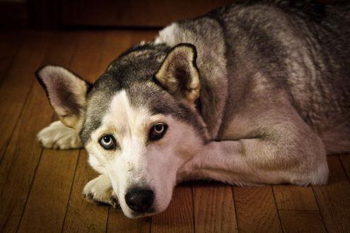 Обои Собака породы хаски лежит на деревянном полу, положив морду на лапы