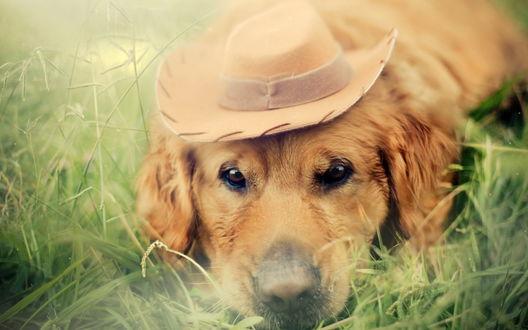 Обои Собака в шляпе, лежащая на траве