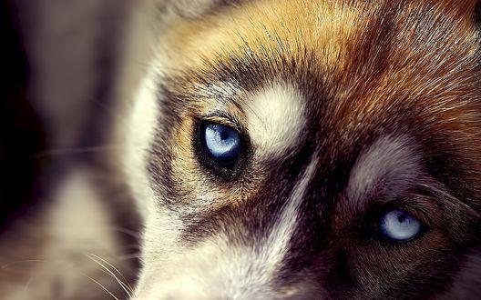 Обои Голубоглазый щенок Хаски
