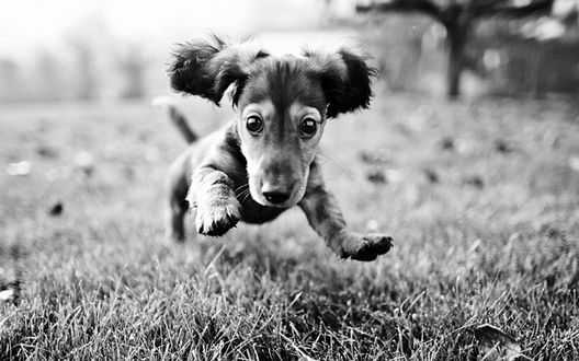 Обои Веселый щенок в прыжке над травой