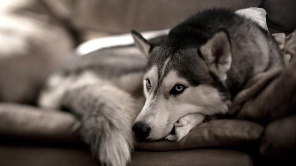 Обои Грустная собака породы хаски на диване