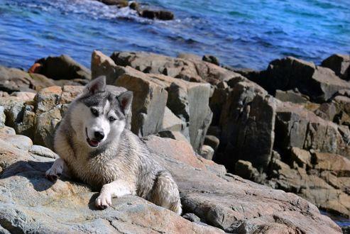 Обои Собака породы хаски лежит на камнях на берегу моря