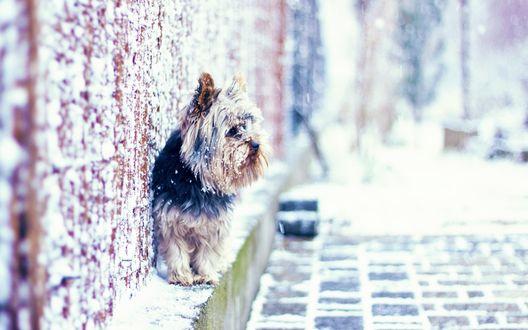 Обои Йоркширский терьер / Yorkshire terrier в снежную погоду сидит около дома и куда-то смотрит