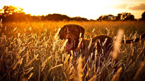 Обои Собака стоящая в поле высунула язык на фоне заката