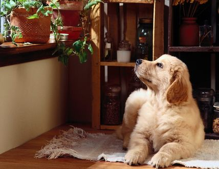 Обои Собака лежит на полу и смотрит на цветы, стоящие на окне
