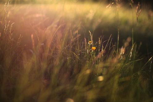 Обои Желтые цветы в высокой траве