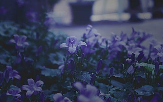 Обои Фиолетовые колокольчики крупным планом