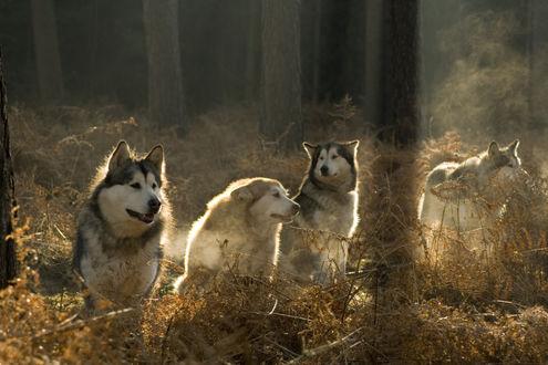 Обои Собаки породы Хаски сидят в сухих зарослях папоротника в лесу