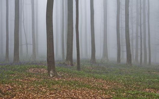 Обои Подснежники в туманном лесу