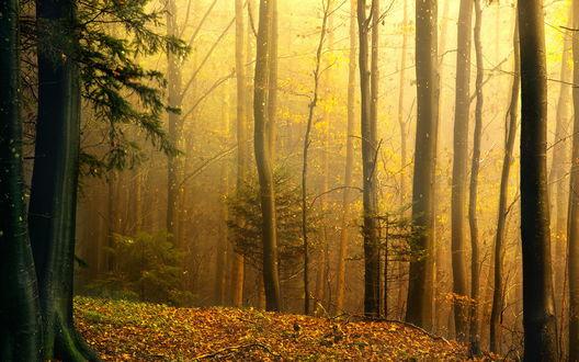 Обои Влажный от дождя осенний лес в тумане