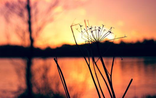 Обои Сухой венчик растения на фоне заката над рекой