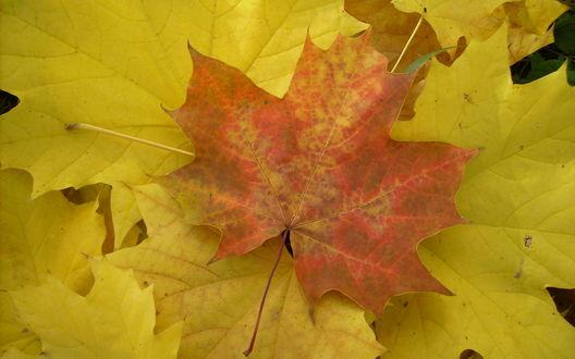Обои Оранжевый кленовый лист на фоне желтых