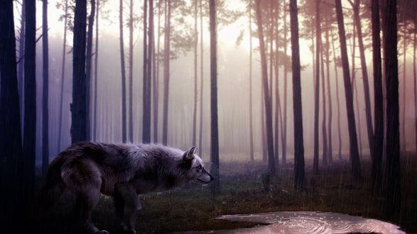 Обои Серый волк, идущий по лесу под проливным дождем, остановился у небольшого водоема
