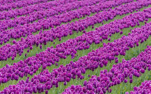 Обои Ровные ряды фиолетовых тюльпанов, растущие на плантации