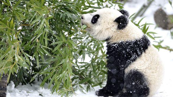 Обои Панда сидящая на снегу кушает бамбук