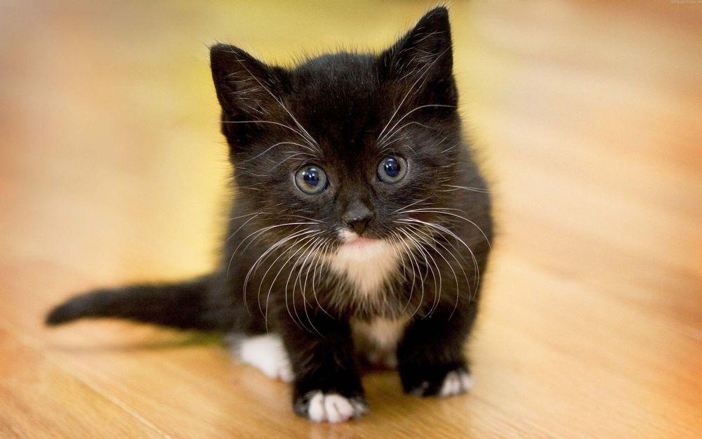 Черные коты с белыми лапками и грудкой