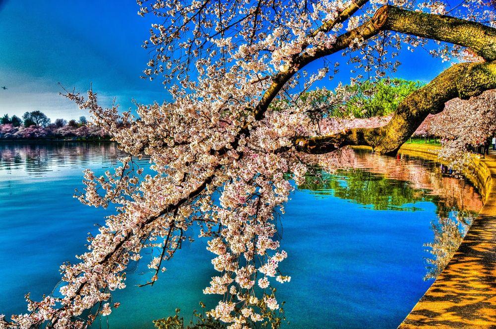 Цветущая яблоня картинки