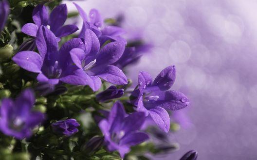 Обои Фиолетовые колокольчики в каплях росы