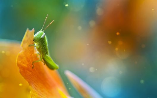 Обои Зеленый кузнечик сидит на лепестке желтого тюльпана