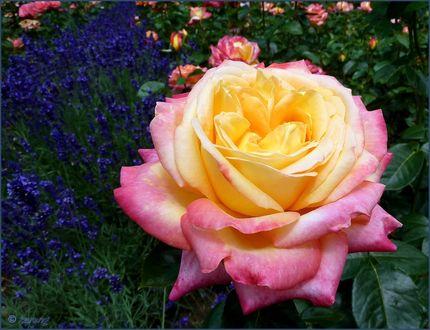Обои Чайная роза крупным планом, за ней голубые мускари и розы