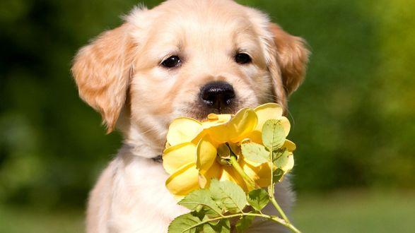 Обои Щенок нюхает желтую розу