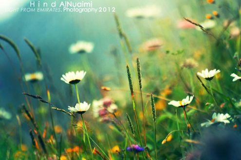 Обои Полевые ромашки и другие цветы, фотограф Hind Al Nuaimi (Light from Emirates / Свет из Эмиратов)