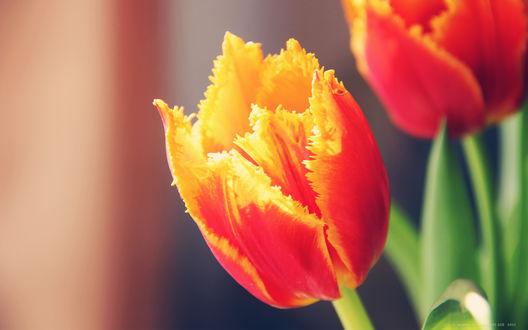 Обои Желто - красные тюльпаны, фотограф А. Щербаков