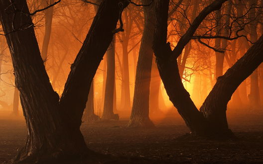 Обои Темные стволы деревьев при закате