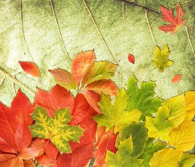 Обои Осенние листья на фоне зеленого увядающего листа