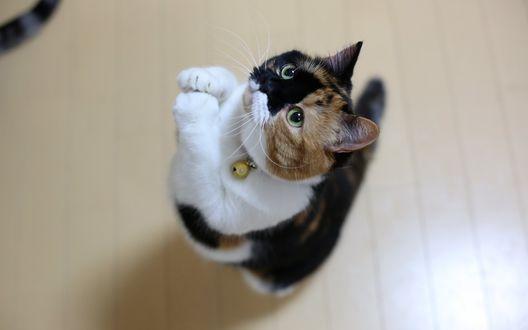 Обои Трехцветный короткошерстный домашний котенок, находясь на полу, встал на задние лапки, выполняя команду хозяина