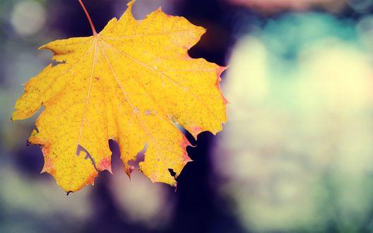 Обои Осенний лист клена