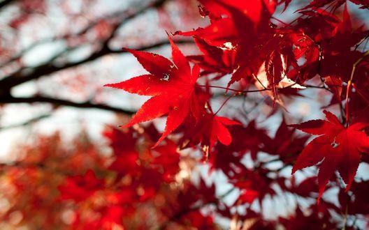 Обои Красные листья клена