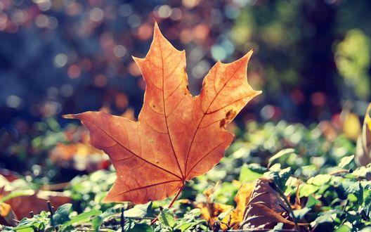 Обои Осенний лист клена, падающий на траву