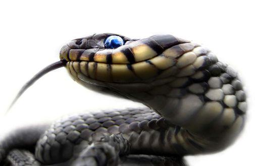Обои Змея с голубым глазом, фотограф Zlatko Borenović
