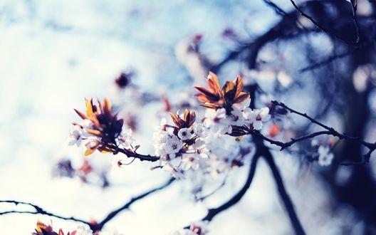 Обои Цветущие ветки сакуры