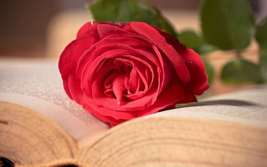 Обои Розовая роза лежит на открытой книге