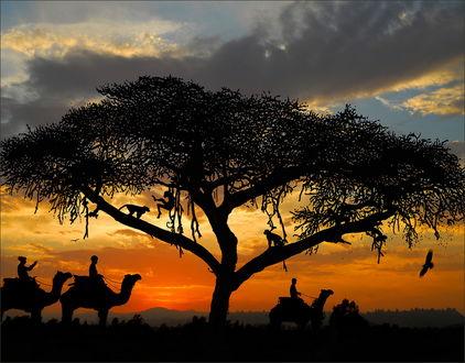 Обои Силуэты погонщиков, сидящие на верблюдах, проходящие возле ветвистого дерева с сидящими на нем игривыми обезьянами, на фоне голубого неба с темными тучами и летящих птиц, фотография Виктора Перякина