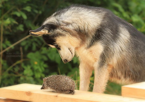 Обои Овчарка удивленно смотрит на маленького ежика, передвигающегося по оструганной доске, фотография Ольги Толстовой