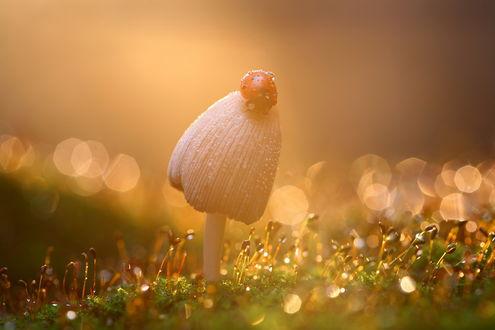 Обои Божья коровка, покрытая каплями утренней росы сидит на шляпке гриба, растущего среди травы на фоне утреннего восхода. фотография Вадима Трунова