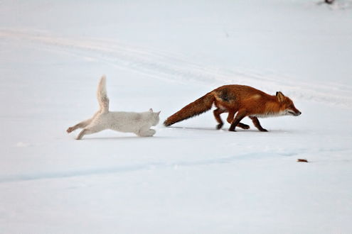 Обои Белый короткошерстный домашний кот, бегущий по снегу отгоняет от дома рыжего лиса, пришедшего из леса, фотография Сергея Краснощекова