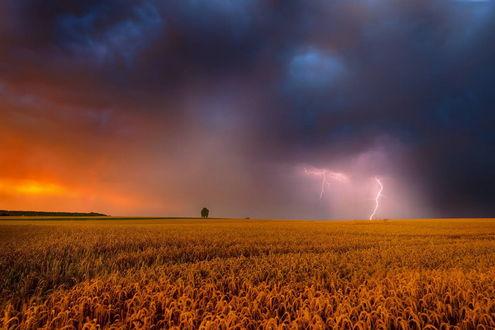 Обои Огромное поле спелой пшеницы на фоне грозового неба со сверкающими молниями, фотография Pawel Kucharski